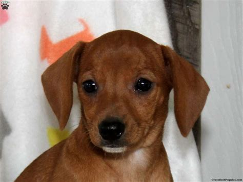 chiweenie puppies price archie beabull puppy for sale in honey brook pa