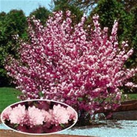 pink flowering almond shrub currently unavailable we don t when or if
