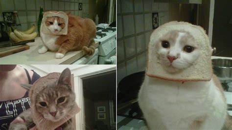 Cat Breading Meme - hot new internet meme breading cats