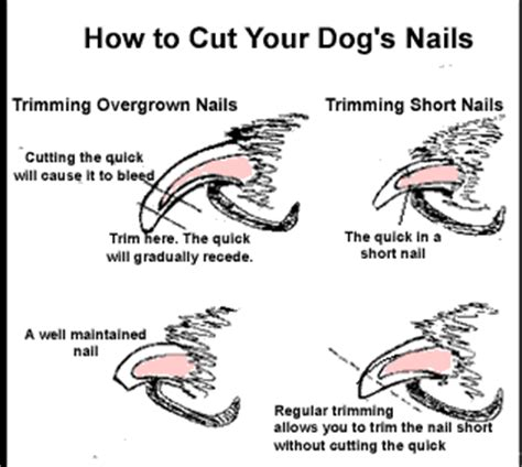 using dog nail clippers for trimming dog nails miniature