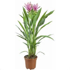 curcuma alismatifolia 3 fl plantes fleuries d int 233 rieur