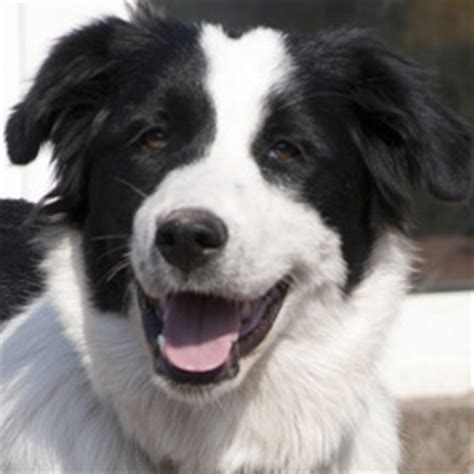 black and white dogs breeds | www.pixshark.com images