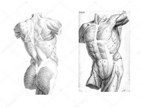 figura corpo umano organi interni 2 viste tronco umano muscoli e organi interni foto