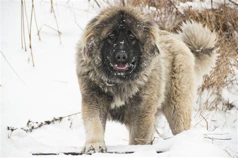Le Berger berger du caucase 224 la neige