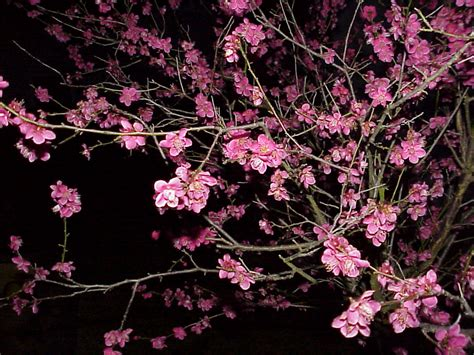 plum blossom tree new year sea salt feng shui everyday miracle for success