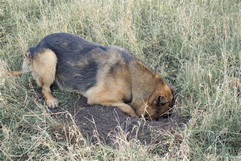 why do dogs dig why do dogs dig is your german shepherd a digger german shepherd world