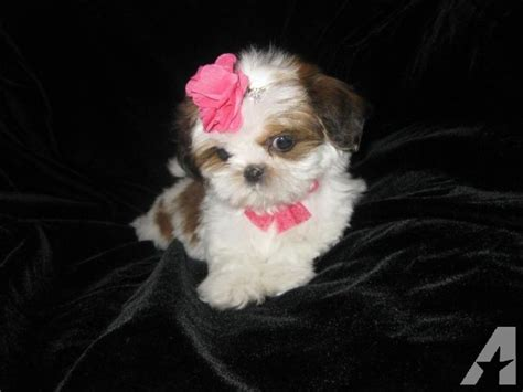 shih tzu puppies brown and white beautiful tiny white and brown shih tzu puppy 12 weeks for sale in phelan