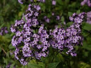 info on heliotrope flowers how to grow heliotrope and