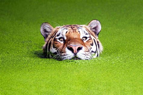 imagenes de tigres cool les plus belles images d animaux 2014 image 7 sur 32