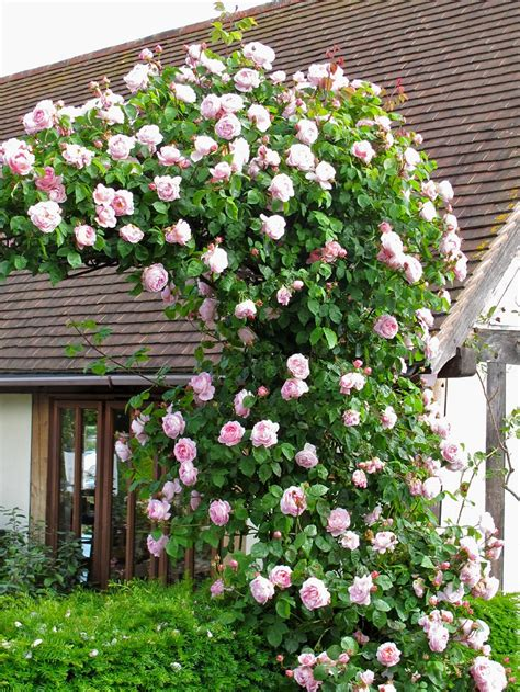 beautiful climbing plants top 3 the most beautiful climbing plants you will buoy