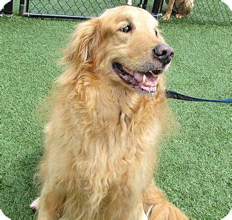 missouri golden retriever rescue golden retriever mix for adoption in house springs missouri dj