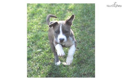 american staffordshire terrier puppies for sale near me american staffordshire terrier puppy for sale near atlanta 4c3b843b 84e1