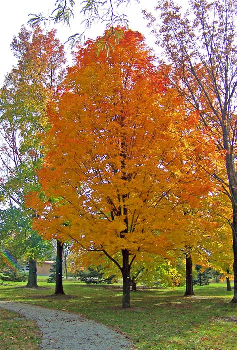 autumn maple tree in park free stock photo public domain