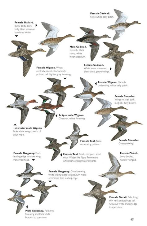 the helm guide to bird identification an in depth look at