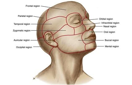 temporal pattern synonym list of synonyms and antonyms of the word scalp regions