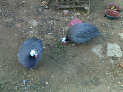 Bibit Ayam Mutiara ayam mutiara yang eksotis hobiternak
