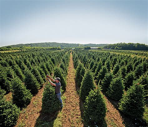 growing the perfect christmas tree tractor supply co
