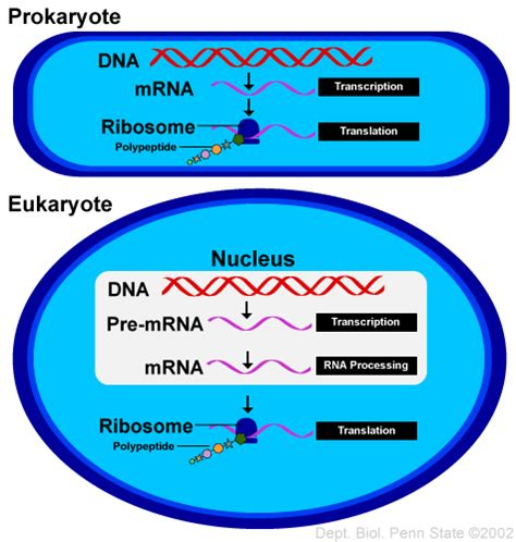where in a eukaryotic cell does translation occur tutorial 17 from gene to protein biol 110