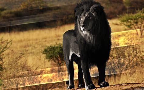 imagenes leon negro 9 fotos de le 245 es que deixar 227 o voc 234 de boca aberta