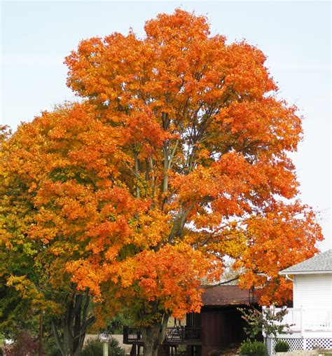 acer saccharum sugar maple tree in fall colors hilltop flickr