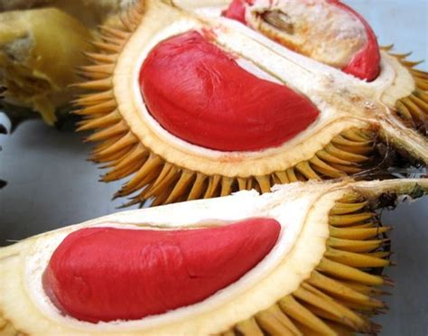 Jual Bibit Nangkadak Orange tanaman durian merah durian fotograf 237 as pinturas