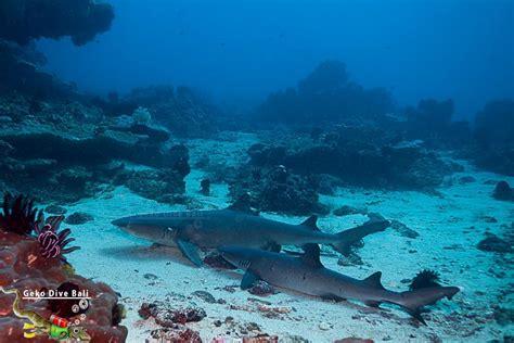 blue dive padang bai dive scuba in blue lagoon jepun shark