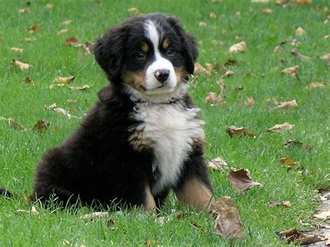 bernese mountain breeders ny bernese mountain puppies picture oregon