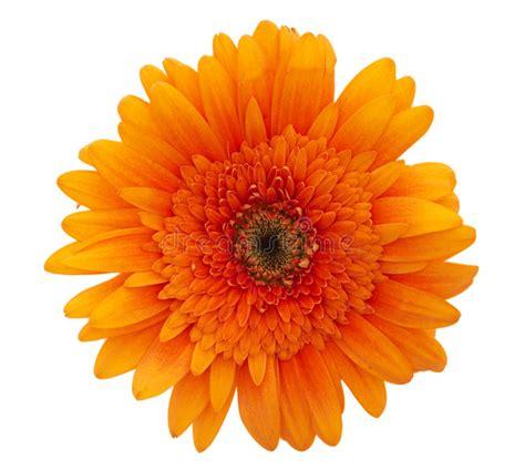 immagine margherita fiore fiore della margherita arancione fotografia stock