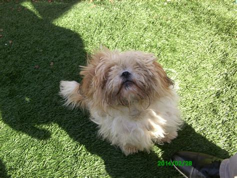 1 month shih tzu puppy 8 month shih tzu puppy for sale gravesend kent pets4homes