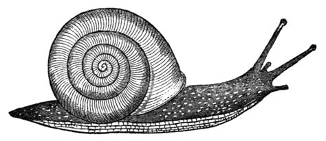 1000 images about snails on pinterest anatomy tape
