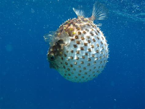 puffer fish view topic everyтнιng wιll вe oĸay roмance chicken smoothie