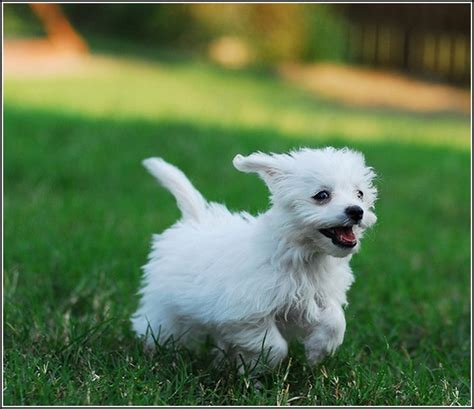 puppy rescue nj hypoallergenic puppies for in nj puppy