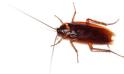 bett ungeziefer cockroach pest canberra canberra pest act