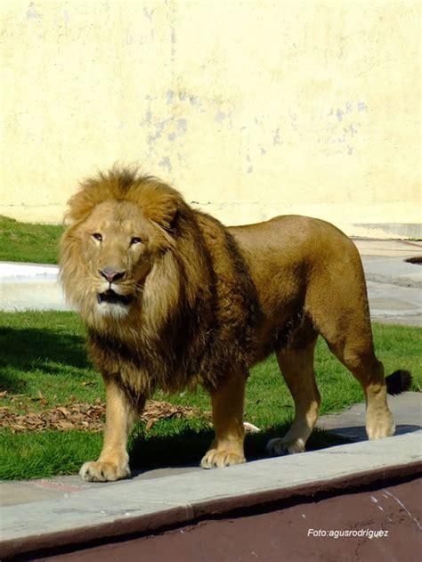 imagenes de leones rugientes le 243 n