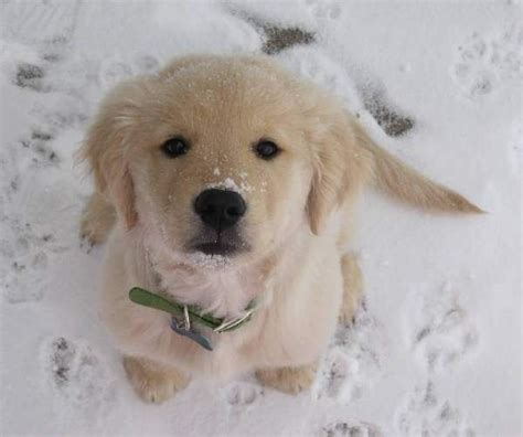 snow golden retrievers golden retriever puppy snow a n i m a l s