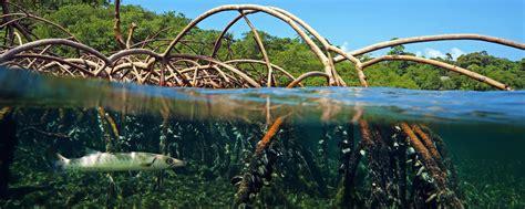 La mangrove La Guadeloupe Les îles de Guadeloupe