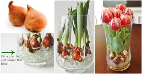 Putting Tulips In A Vase by How To Grow Tulips In A Vase How To