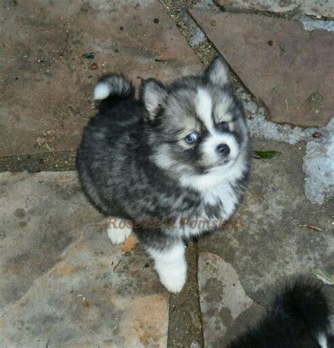 pomeranian husky for sale in arizona 25 best pomsky breeders ideas on pomsky puppies pomsky for sale and