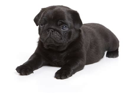 black pug puppy dogs black pug puppies