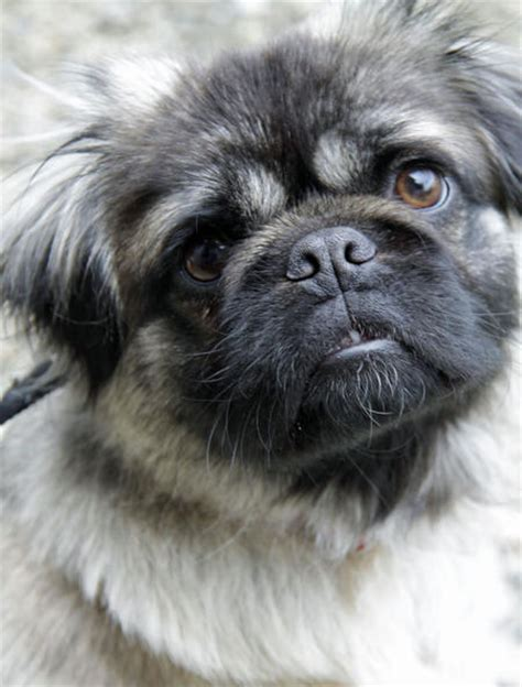 what is a pug mixed with pug beagle mix pictures 78 pug beagle mix pictures breeds picture