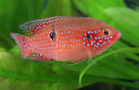 Pictures Of And Cichlids