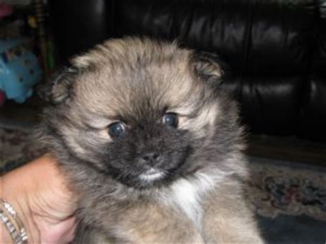 puppies for sale in dubuque iowa pomeranian puppies in iowa