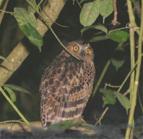 Burung Hantu Owl Ukiran Kayu 1 Set 3 Pcs Asli Handmade burung hantu kuning bahasa melayu ensiklopedia bebas