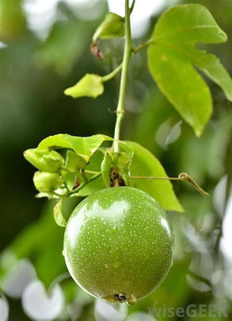 what of fruit grows on trees how are seedless fruits and vegetables grown with pictures