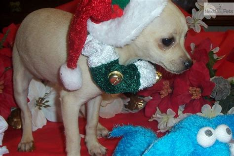 free puppies gainesville fl chihuahua florida in puppy sale breeds picture
