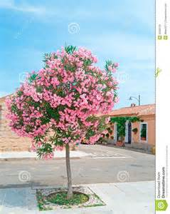 Arizona House Plans Oleander Tree Stock Image Image 32302131