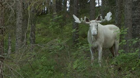 white in swedish white moose is the white king of sweden s forest