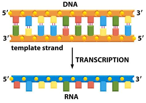 when an rna strand forms using dna as a template related keywords suggestions for mrna strand