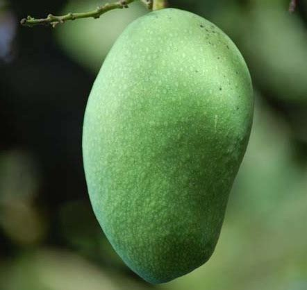Tanaman Mangga Khieo Sawoi Tinggi 40 60 Cm tanaman mangga arumanis bibitbunga