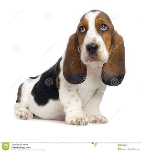 free basset hound puppies basset hound puppy stock photography image 2313252